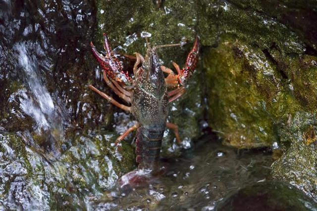 Live Crayfish in Golden Gate Park