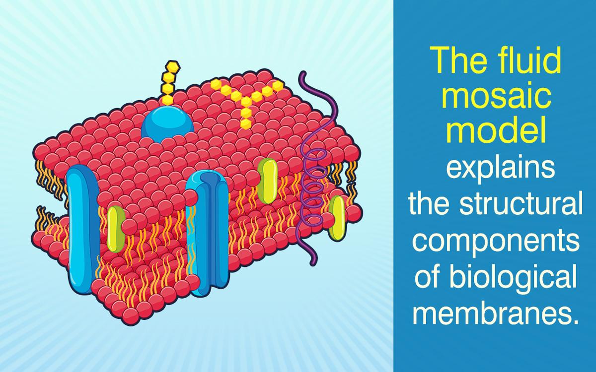 describe the fluid mosaic model of a plasma membrane