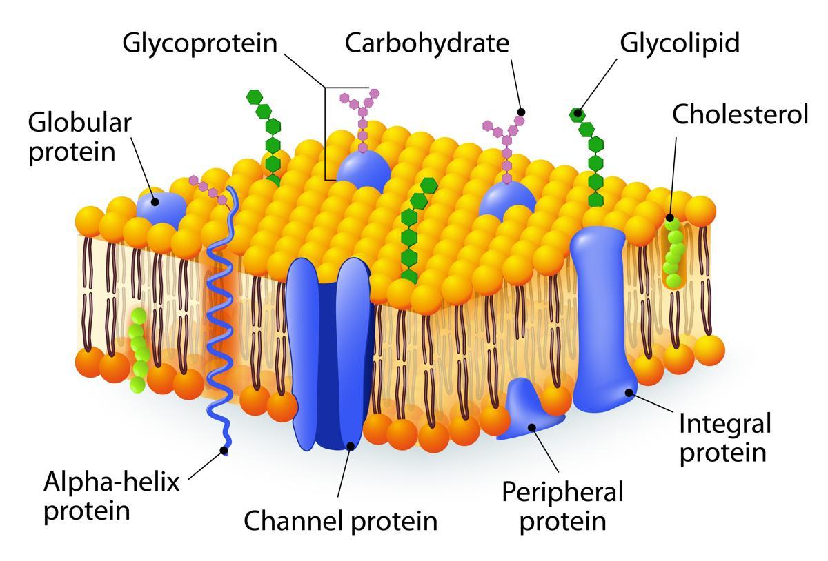 Prokaryotic Cell Diagrams Cells Diagram Labeled