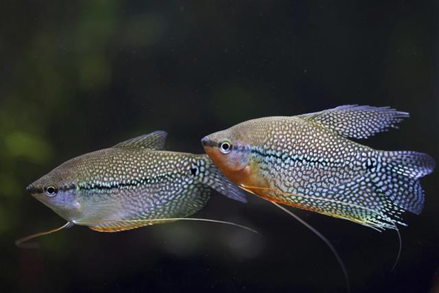Pearl Gourami fish
