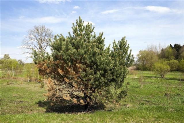 Dried spruce