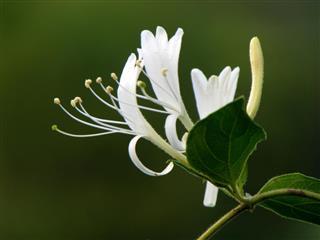 Honeysuckle Blossom