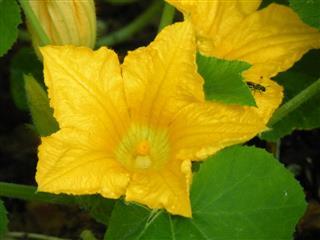 Yellow squash blossom