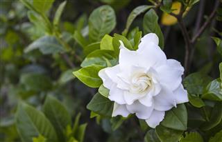 Gardenia, Plant