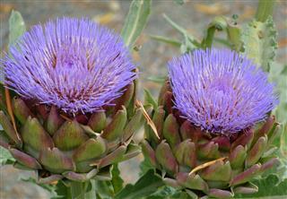 Artichoke, Flower