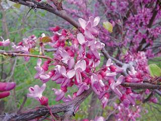 Redbud Tree, Blooming