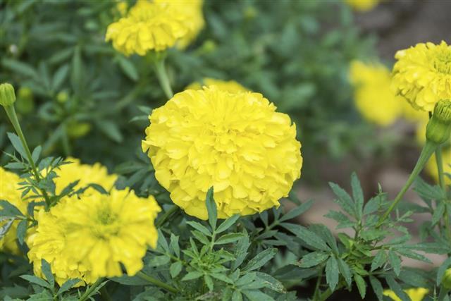 Yellow Marigolds Flower in the Garden