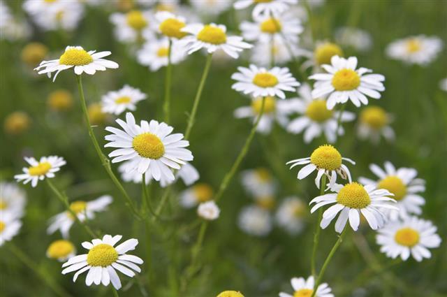 medical daisies