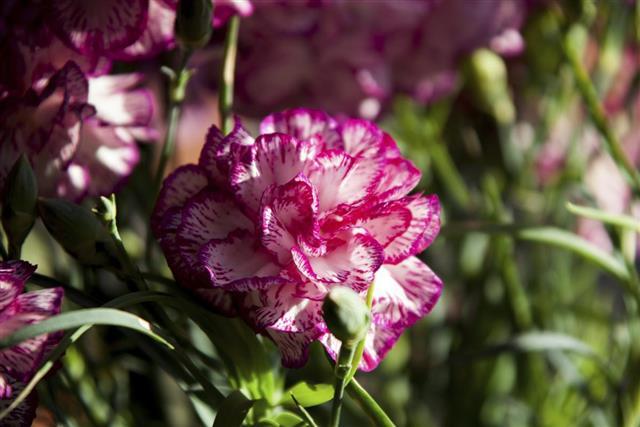 Flower ??? Carnation