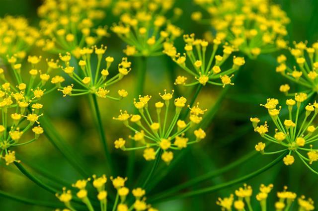 Fennel flower