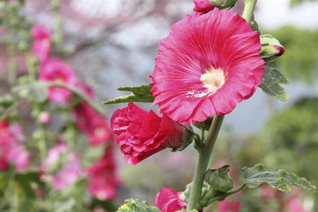 Red hollyhock flower in garden