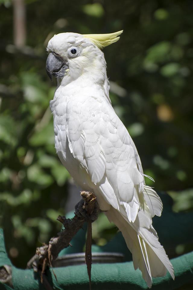 Sulphur-crested cockatoo, Cacatua galerita