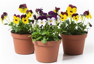 Pansy plants