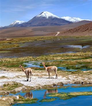 Vicuas Graze In The Atacama