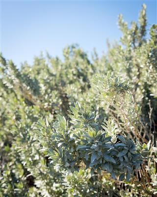 Saltbush plant