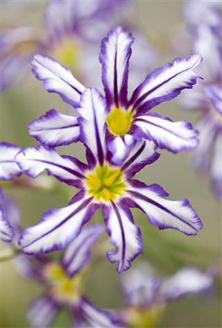 Leucocoryne flower