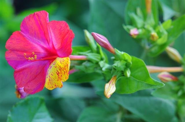 Wunderblume (Mirabilis jalapa) four o'clock flower or marvel of Peru