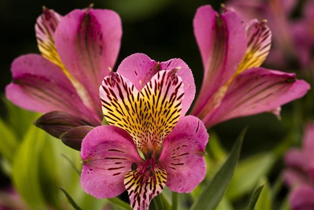 Alstroemeria Flower (Peruvian Lily)