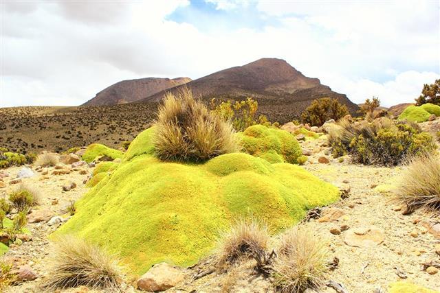 Yareta and desert grass in the mountain at atacama desert