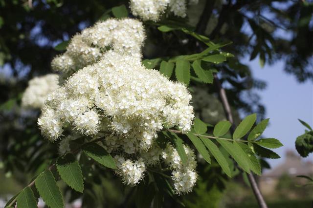 White spring blossom Ash tree