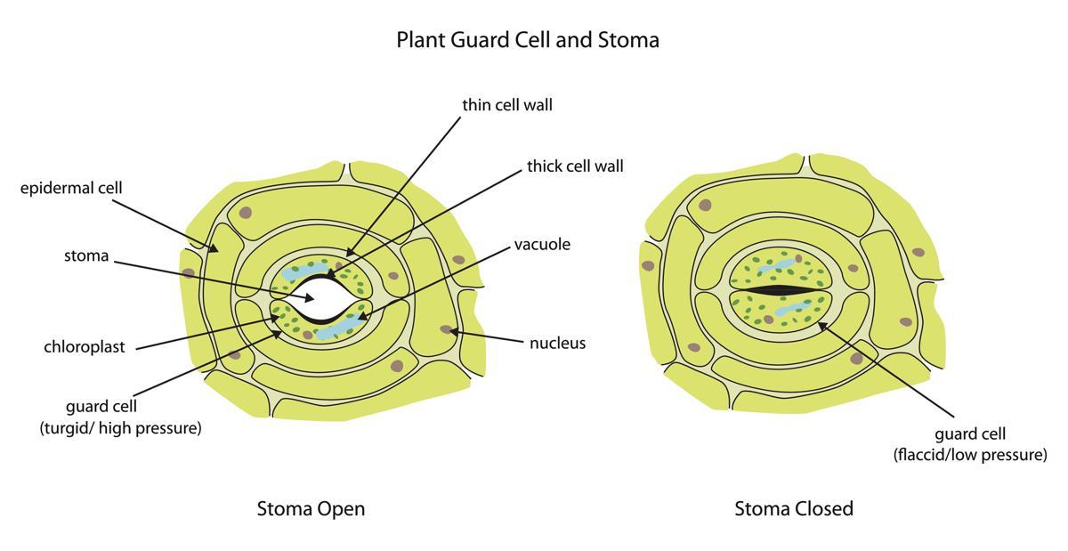 Stomata Function