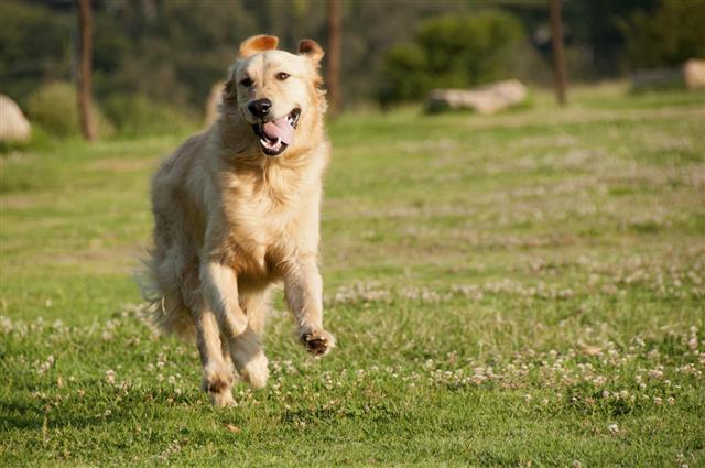 Retriever running