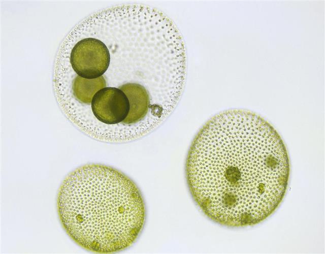 Volvox micrograph