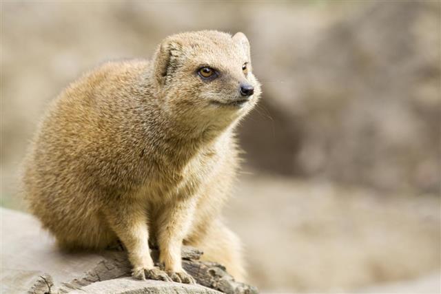 Mongoose , Animal