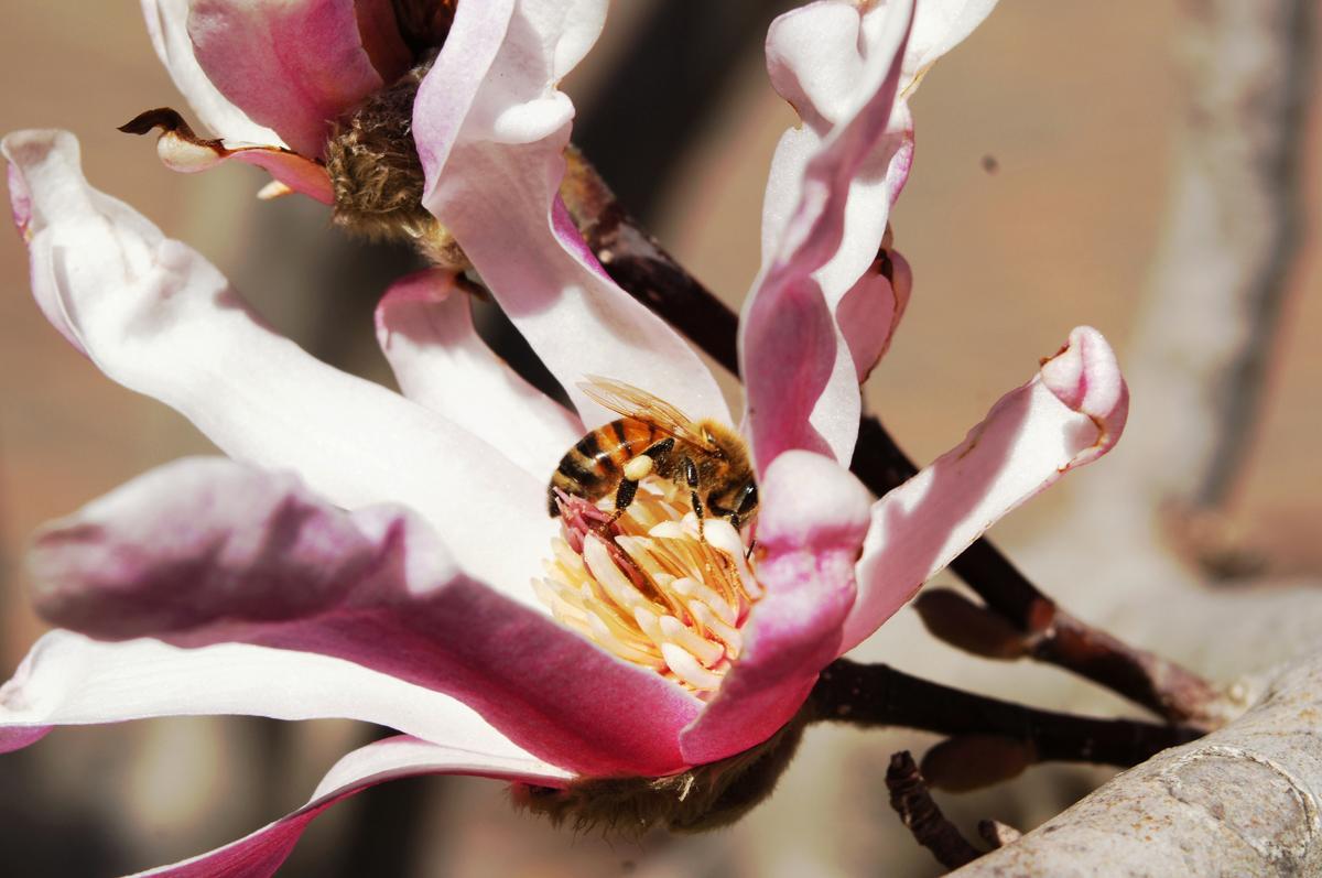 Magnolia flowers. Care, reproduction
