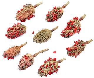 Magnolia Tree Seed Pods