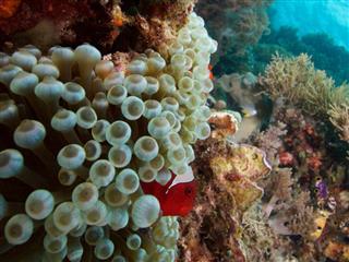 Clown fish in bubble-tip anemone