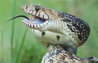 Bull Snake close-up