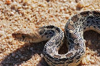 Bull Snake on sand