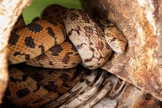 Hiding adult bull snake