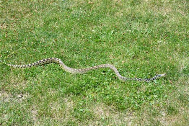 Bull Snake at garden