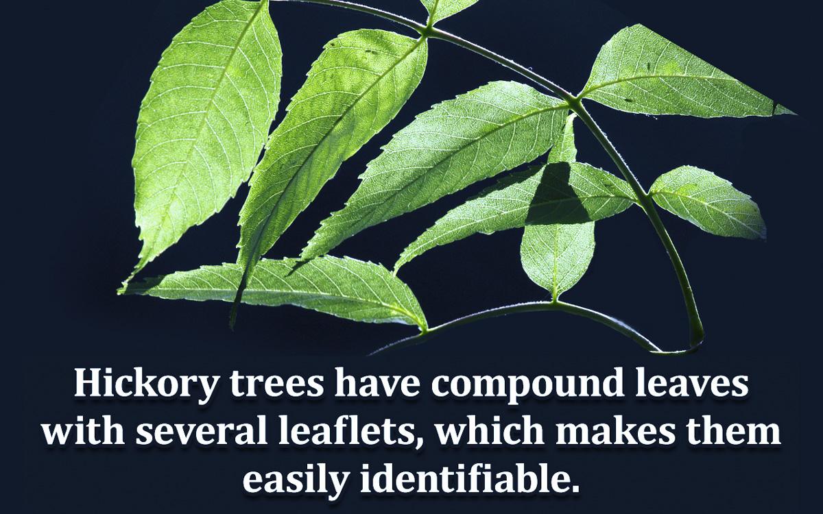 Hickory Tree Identification