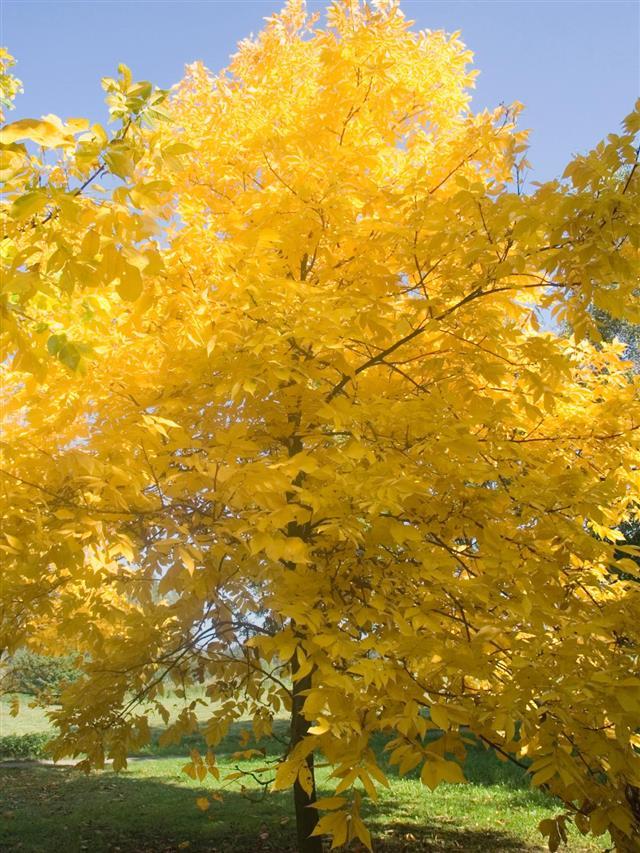 pignut hickory tree