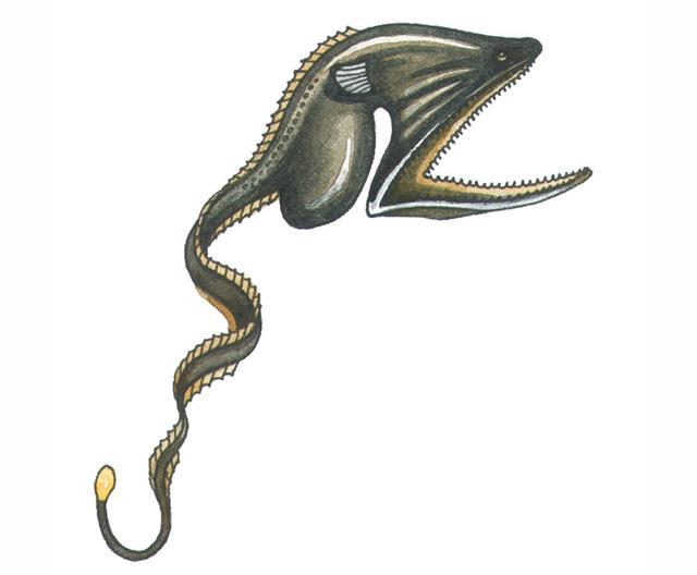 Saccopharyngiformes Fish