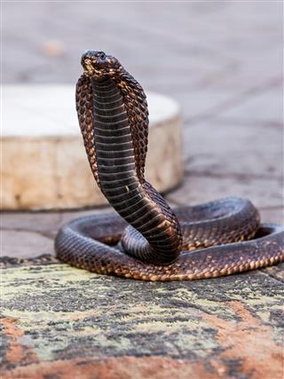 Egyptian cobra charmed at Jemaa el-Fnaa square, Marrakesh (Morocco)