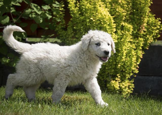 Kuvasz puppy