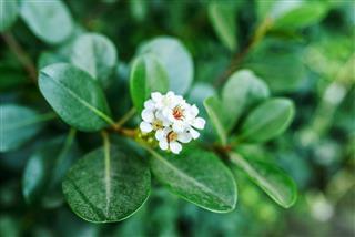 Peperomia flower