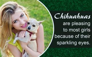 how to house train a chihuahua