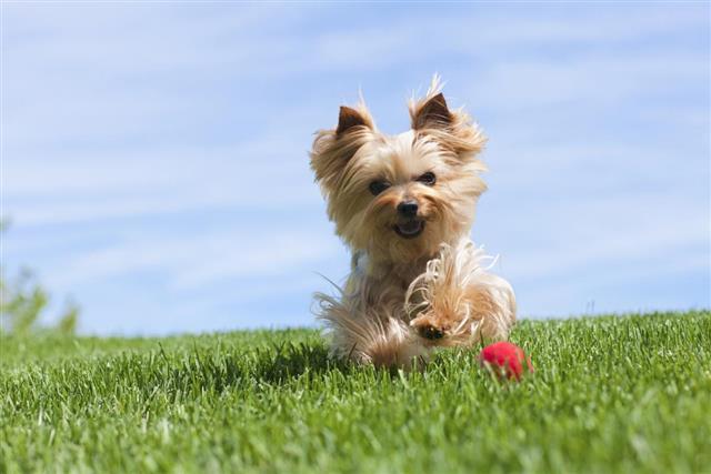 Yorkshire Terrier Dog Running Outdoor