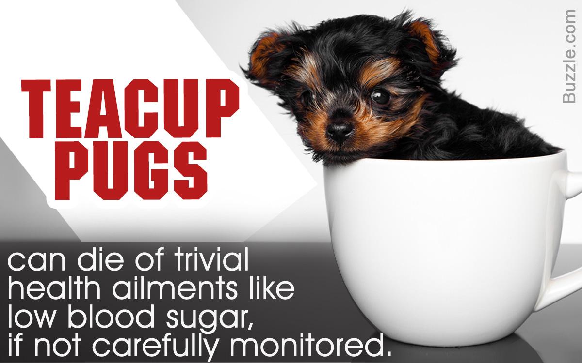Teacup Pugs