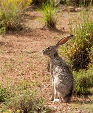 Jackrabbit Near Deeming, New Mexico
