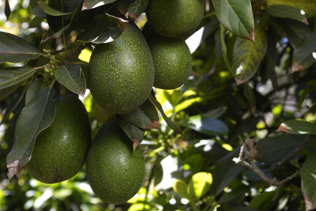 Dwarf Avocado Tree