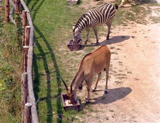 Zoo Feeding Time for Giraffe Zebra Antelope