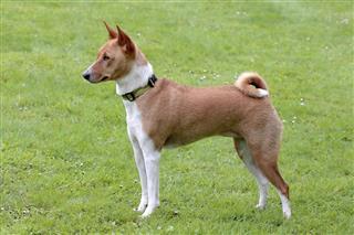 Typical Basenji dog in the garden