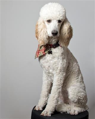 White Standard Poodle Posing in Studio