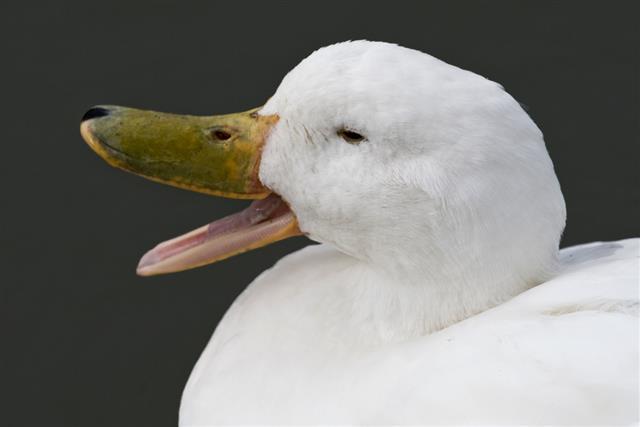 Duck Quacking